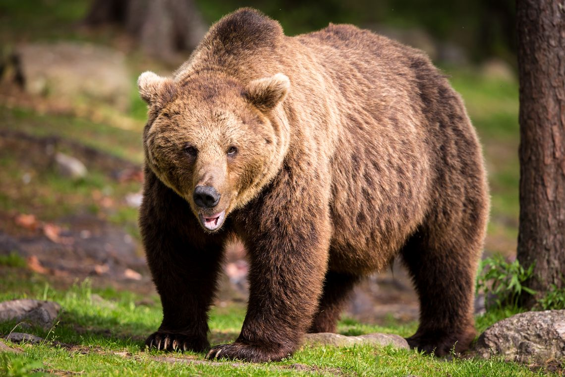 Photographing Wild Bears In Finland